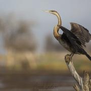Anhinga d'Afrique, lac Baringo