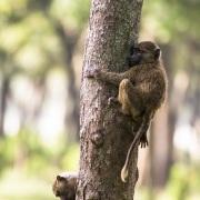 Jeunes babouins