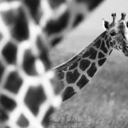 Girafe de Rotschild, Baringo
