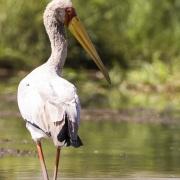 Tantale ibis, lac Baringo