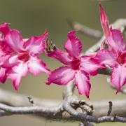 Rose du désert, lac Baringo