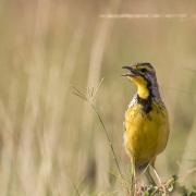 Sentinelle à gorge jaune, Maasaï Mara