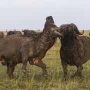 Buffles, Maasaï Mara