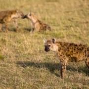 Hyènes tachetées, Maasaï Mara