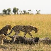 Guépard, Maasaï Mara