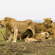 Lion, Maasaï Mara