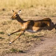 Impala, Maasaï Mara