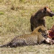 léopard et  hyène sur une carcasse de zèbre