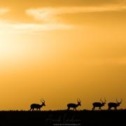 Impalas au lever de soleil