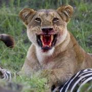 Le repas de la lionne