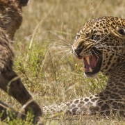 léopard chassant une hyène