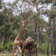 Giraffe masaï