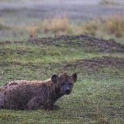 Hyène tachetée sous la pluie