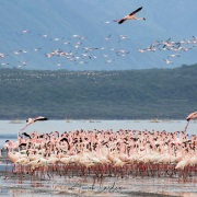 Flamants roses, lac Bogoria