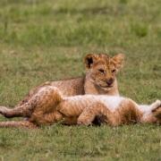 lionceaux jouant