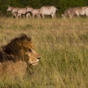 Lion indifférent aux zèbres
