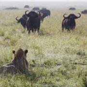 lion + buffles