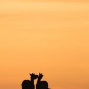 Zèbres au lever de soleil