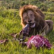 Repas du lion