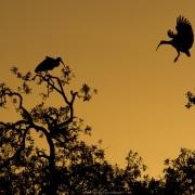 Ibis au lever de soleil