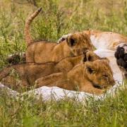 Lionne allaitant sa progéniture