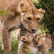 Retrouvailles de la lionne et ses lionceaux