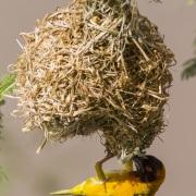 Tisserin à tête rousse ajustant son nid