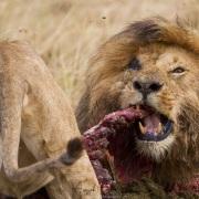 Repas de lions, ici un hipopotame