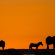 élephants et zèbre sur fond de Lever de soleil