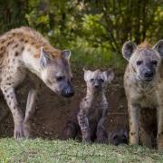 Hyenes et leurs jeunes devant le terrier