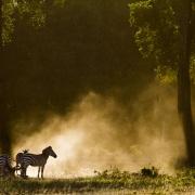 Zèbre se rounat dans la poussière