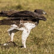 Aigle martial et sa proie: un varan