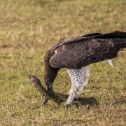 Aigle martial Aigle martial et sa proie: un varan dévoré vivant
