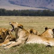 La sieste des lion après avoir bien mangé