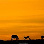 zèbres sur fond de Lever de soleil