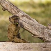 Jeune babouinmangeant un fruit