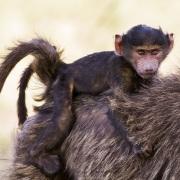 Bébé babouin sur le dos maternel