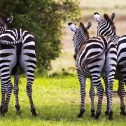 """Zebres: vue de """"fesses"""""""