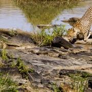 guepard étanchant sa soif