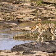 guepard partant en chasse