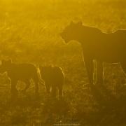Contre-jour sur la lionne et ses lionceaux