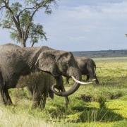 Elephant s'aspergeant