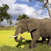 Elephant longeant de la mare recouverte de jacynthes d'eau
