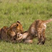 Insouciance de lionceaux