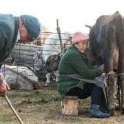Plateau de Son Kul: traite des vaches
