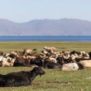 Plateau de Son Kul: troupeau au repos