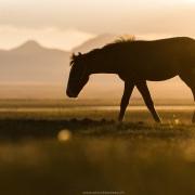 Plateau de Son Kul: cheval kirghize