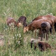 Jeune berger et ses moutons