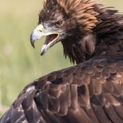 Portrait d'aigle royal