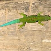 Gecko diurne à quatre ocelles